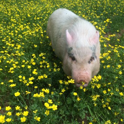Farm animals: Wilbur enjoying the spring flowers.